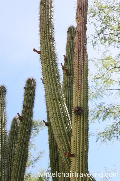 3_organ pipe cactus.JPG