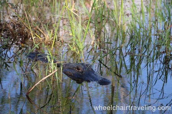 07_Alligator on Anhinga Trail