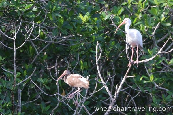 32_Boat Tour_ Ibis on Tarpon Creek