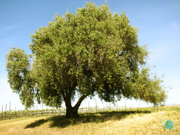 Olive Tree and Vineyards